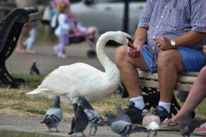 The swans in Christchurch Harbour are friendly...